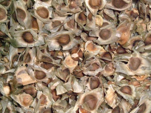 ������������ (Dried Moringa Seeds)